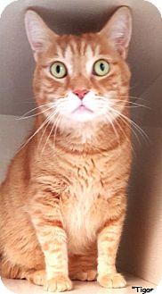 Domestic Shorthair Cat for adoption in Key Largo, Florida - Tigger