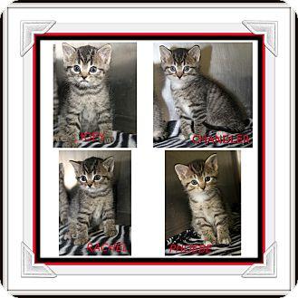 Domestic Shorthair Kitten for adoption in Marietta, Ohio - Joey Chandler Rachel Phoebe