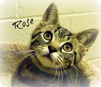 Domestic Shorthair Cat for adoption in Defiance, Ohio - Rose