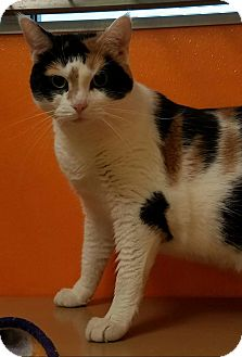 Calico Cat for adoption in Elyria, Ohio - Charlotte