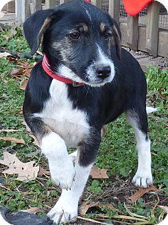 Feist/Boxer Mix Puppy for adoption in Newburgh, New York - Dancer