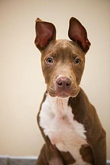 Staffordshire Bull Terrier Mix Dog for adoption in Villa Park, Illinois - Cayden