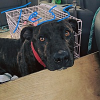 American Staffordshire Terrier/Pit Bull Terrier Mix Dog for adoption in Covington, Tennessee - Tess