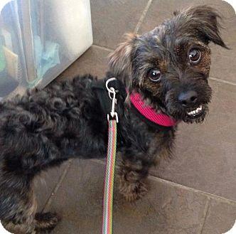 Poodle (Standard)/Shih Tzu Mix Dog for adoption in Freeport, New York - Becky