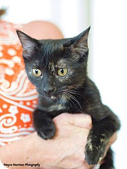 Domestic Shorthair Cat for adoption in Marietta, Georgia - Riley