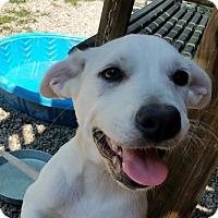 Adopt A Pet :: Meryl - ST LOUIS, MO