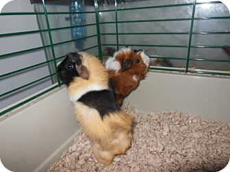Guinea Pig for adoption in Olivet, Michigan - Mable's Girls