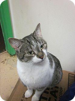 Domestic Shorthair Cat for adoption in Battle Creek, Michigan - Misha