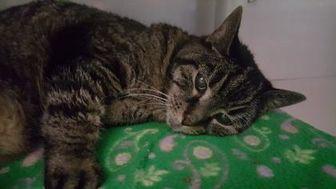 Domestic Shorthair/Domestic Shorthair Mix Cat for adoption in New Freedom, Pennsylvania - Jackson