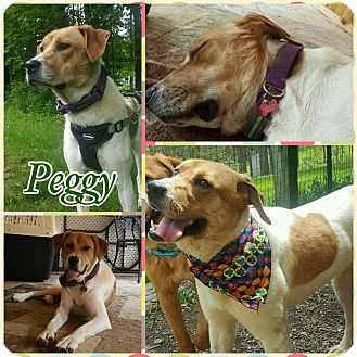 Hound (Unknown Type)/Labrador Retriever Mix Dog for adoption in Ringwood, New Jersey - Peggy
