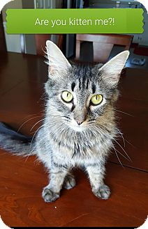 Domestic Longhair Cat for adoption in Huntsville, Alabama - Beverly C.