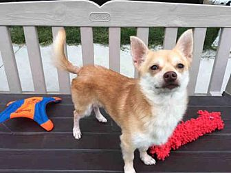 Pomeranian Mix Dog for adoption in Santa Clara, California - TEDDY