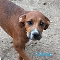 Adopt A Pet :: Cagney - Monticello, GA