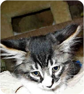 Maine Coon Kitten for adoption in San Clemente, California - EVAN