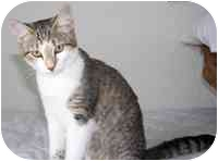 Domestic Shorthair Kitten for adoption in Tampa, Florida - Petunia
