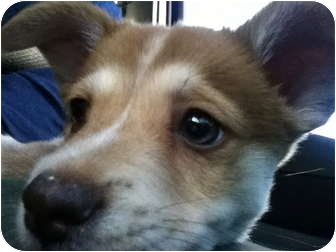 Husky/German Shepherd Dog Mix Puppy for adoption in Los Angeles, California - Charlie the Chunk