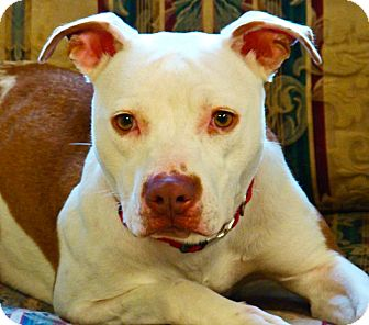 American Pit Bull Terrier Dog for adoption in South Dennis, Massachusetts - Sadie