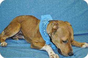 Shepherd (Unknown Type)/Cattle Dog Mix Dog for adoption in Phoenix, Arizona - Tucker