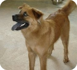 Golden Retriever/Shepherd (Unknown Type) Mix Dog for adoption in Bartonsville, Pennsylvania - YOJI