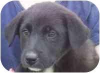 Labrador Retriever/Catahoula Leopard Dog Mix Puppy for adoption in Carrollton, Texas - Lilly