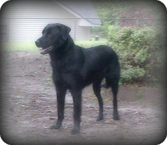 Labrador Retriever Mix Dog for adoption in Arkadelphia, Arkansas - Asia