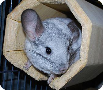 Chinchilla for adoption in Hammond, Indiana - Louie & Mr. Jingles
