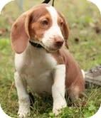 Beagle Puppy for adoption in Foster, Rhode Island - Copper