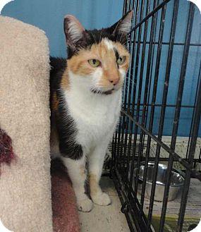 Domestic Shorthair Cat for adoption in Eighty Four, Pennsylvania - Tara