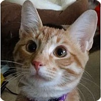 Adopt A Pet :: Peter Pan - Hurst, TX