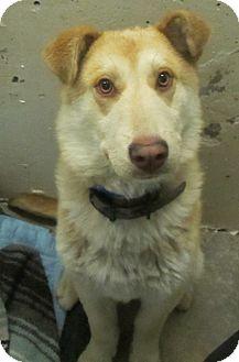 Husky/Shepherd (Unknown Type) Mix Dog for adoption in Lloydminster, Alberta - Jackson