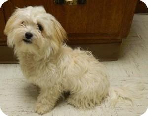 Maltese/Cockapoo Mix Dog for adoption in Columbus, Nebraska - Lovey