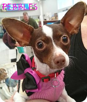 Chihuahua Dog for adoption in House Springs, Missouri - Pebbles