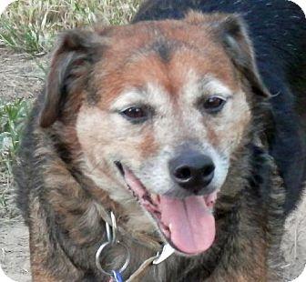 Shepherd (Unknown Type)/Collie Mix Dog for adoption in Lake Charles, Louisiana - Josie