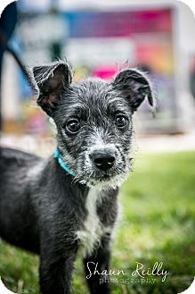 Schnauzer (Miniature)/Labrador Retriever Mix Puppy for adoption in Hammonton, New Jersey - wonka