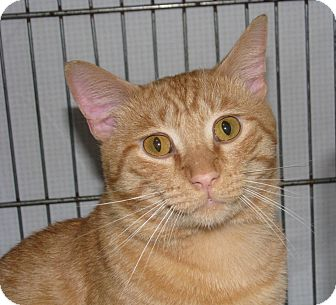 Domestic Shorthair Cat for adoption in New Kensington, Pennsylvania - Julius