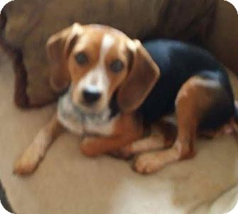 Beagle/Hound (Unknown Type) Mix Puppy for adoption in Lexington, Massachusetts - Gypsy