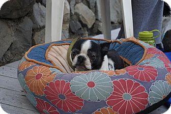 Boston Terrier Dog for adoption in San Francisco, California - Bobo