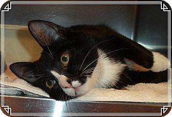 Domestic Shorthair Kitten for adoption in Marietta, Georgia - REGGIE