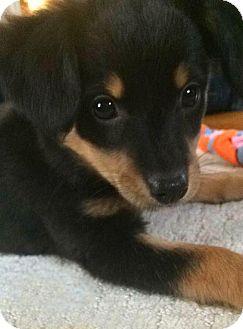 Dachshund/Chihuahua Mix Puppy for adoption in Northville, Michigan - Jane