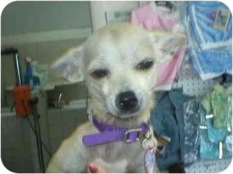Chihuahua Mix Dog for adoption in Poway, California - COCO
