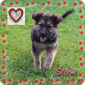 German Shepherd Dog/Labrador Retriever Mix Puppy for adoption in Elgin, Illinois - Storm