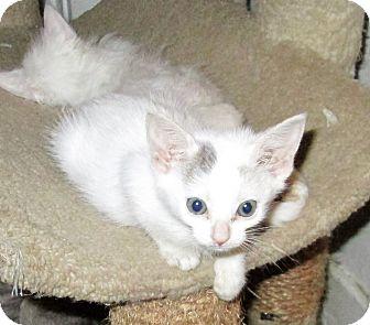 Domestic Shorthair Kitten for adoption in San Diego, California - DINKY
