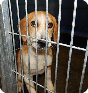 Hound (Unknown Type)/Beagle Mix Dog for adoption in Exton, Pennsylvania - Daisy (Foster)