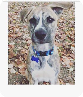 Boxer/Labrador Retriever Mix Puppy for adoption in Greenfield, Wisconsin - Dak