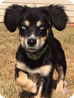 Dachshund Mix Puppy for adoption in CUMMING, Georgia - Bandit