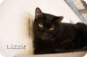 Domestic Shorthair Cat for adoption in Middleburg, Florida - Lizzie