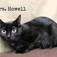 Adopt A Pet :: Lovey-Mrs. Thurston Howell lll - Florence, KY