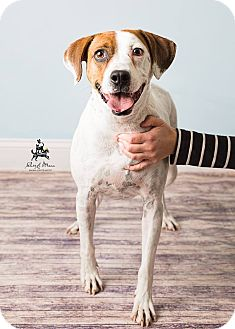 Pointer Mix Dog for adoption in Hendersonville, North Carolina - Midge