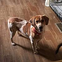 Basenji/Beagle Mix Dog for adoption in Jetersville, Virginia - Tiny Tim