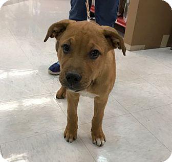 Labrador Retriever Mix Puppy for adoption in Evergreen, Colorado - Beso